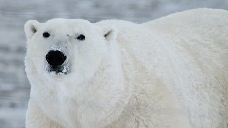 Dutch Man Killed By Polar Bear in Norway -- Is Climate Change to Blame?