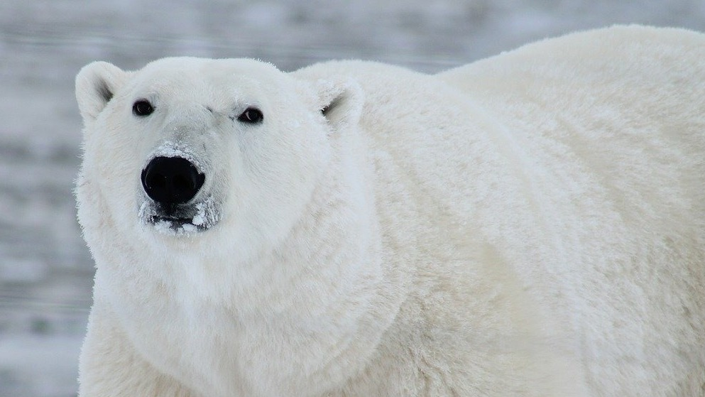 Dutch Man Killed By Polar Bear in Norway — Is Climate Change to Blame?